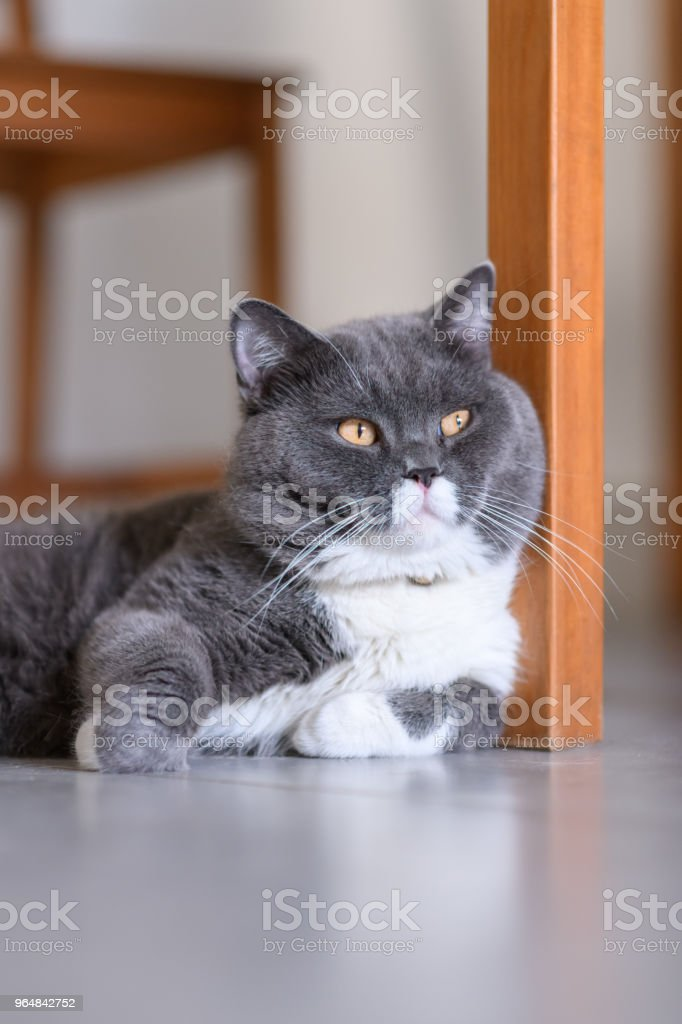 Cute British Shorthair, indoor shot royalty-free stock photo