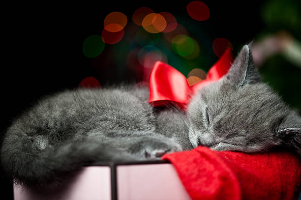 Cute British shorthair kitten  kitten cute valentines day domestic cat stock pictures, royalty-free photos & images