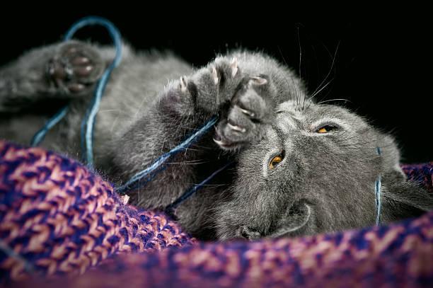Cute british shorthair kitten picture id136972800?b=1&k=6&m=136972800&s=612x612&w=0&h=es69xqietglqdnb6sbuitrwxymewwg 88 ekecloqok=