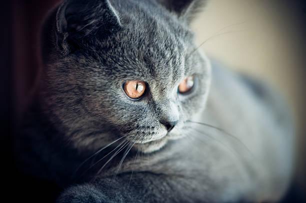 Cute British shorthair kitten stock photo