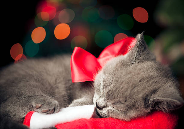 """Cute British shorthair kitten """"Cute British shorthair kitten sleeping, over beautiful bokeh, age 2 months"""" kitten cute valentines day domestic cat stock pictures, royalty-free photos & images"""