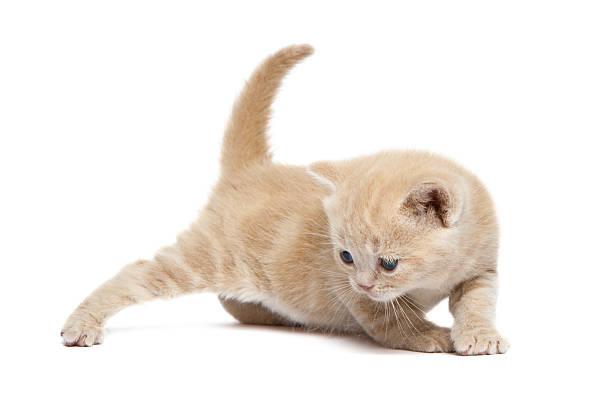 Cute british shorthair kitten picture id183433495?b=1&k=6&m=183433495&s=612x612&w=0&h=9ss7pnhm jv znuseoorezn6o7ejsvzjdztkt18cri0=