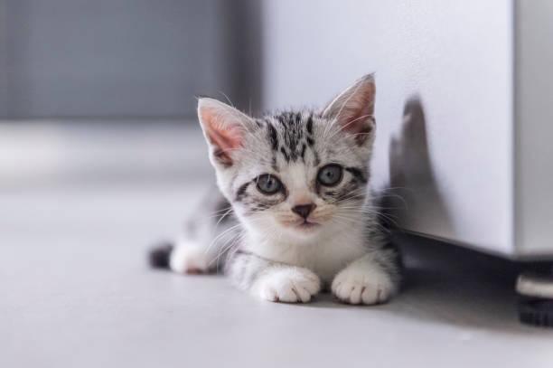 Cute british shorthair kitten playing indoors picture id1164332511?b=1&k=6&m=1164332511&s=612x612&w=0&h=uhefb9y8 ru2wntuzw0y6g 5are3mukwaubt30jqxhy=