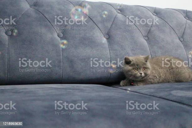 Cute british shorthair kitten standing on the sofa and looking the picture id1218993630?b=1&k=6&m=1218993630&s=612x612&h=gsyt6fsdcvdal dcwyqzxuu3ymzmn9g8gnowj gwnco=