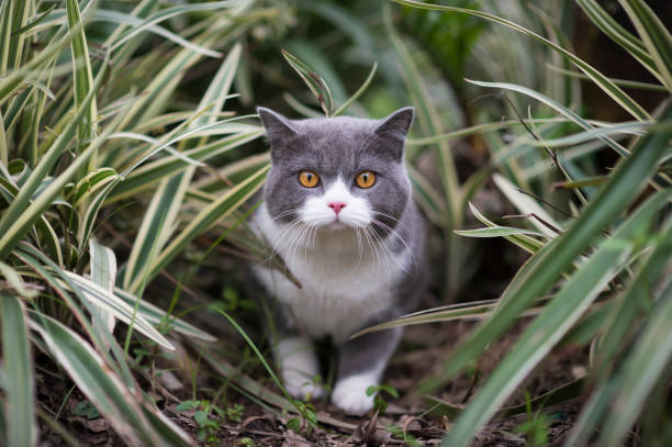 Niedliche britische Kurzhaar, die auf dem Rasen spielt – Foto
