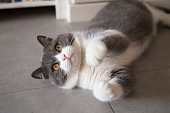 istock Cute British short-haired cat, indoor shooting 1140906196