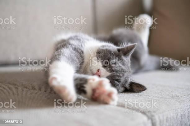 Cute british shorthaired cat picture id1066887010?b=1&k=6&m=1066887010&s=612x612&h=f9d3m1psvt4q9hm1v1uceuix6ovktzzbfiilwodudzs=