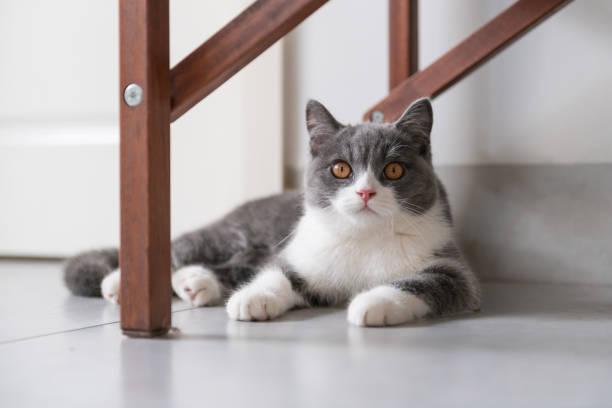 Gato de pelo curto britânico bonito - foto de acervo
