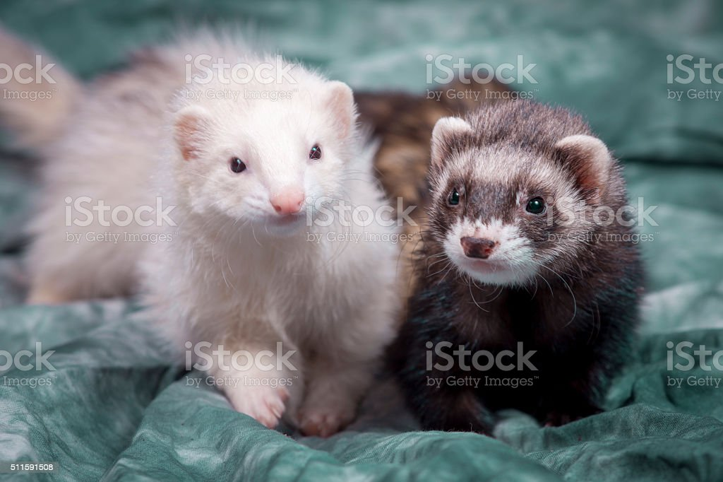 Cute brown and white ferrets. stock photo