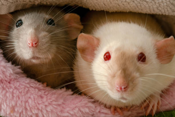 Cute brown and white pet rats in their plush house picture id1215298446?b=1&k=6&m=1215298446&s=612x612&w=0&h=yoecrxukcbbmpfhbos9vpev thdx5atdba9arqhw i8=