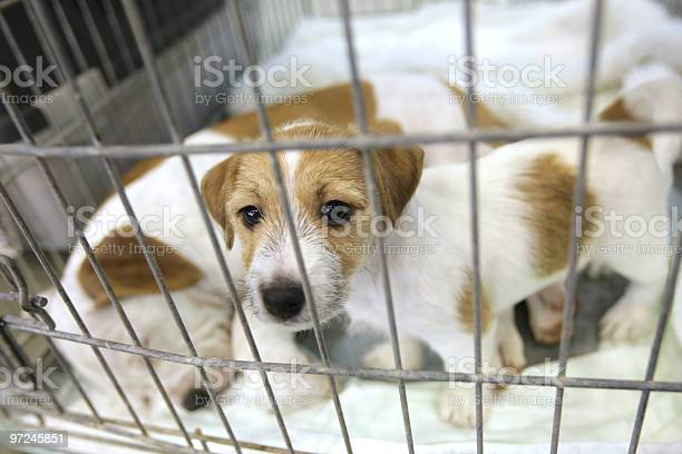 Cute brown and white puppies in a cage picture id97245851?b=1&k=6&m=97245851&s=612x612&h=u5gxvxvd8fde7oiutwwv2fjijndzx3u9ljkzvmmobg4=