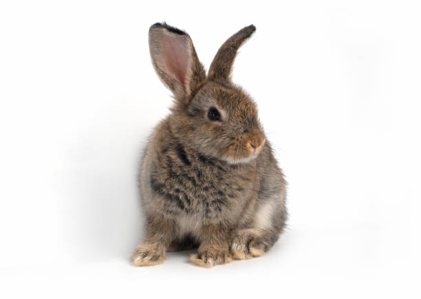 Cute brown baby rabbit sitting on a white backgroundisolated picture id1207248526?b=1&k=6&m=1207248526&s=612x612&w=0&h=ol5zwpf1sodidy796lsbjbxzyhvwnfol fepj5lqmks=