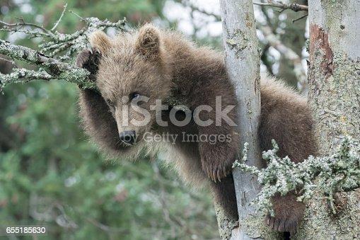 istock Cute Brown Bear Cub in Tree 655185630