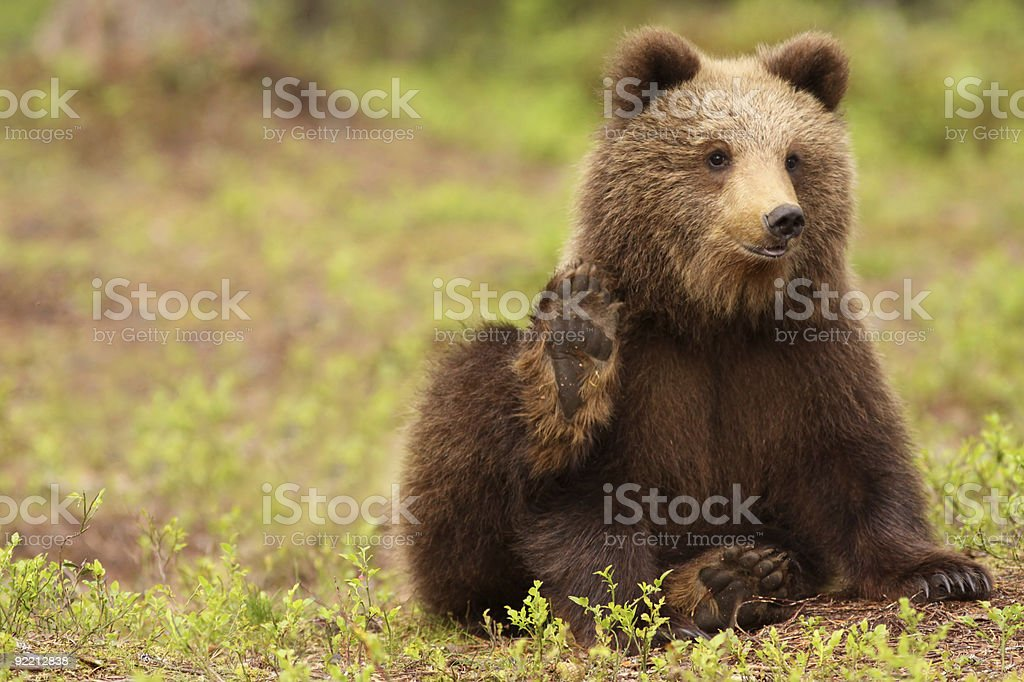 Cute brown bear cub waving with its paw at you stock photo