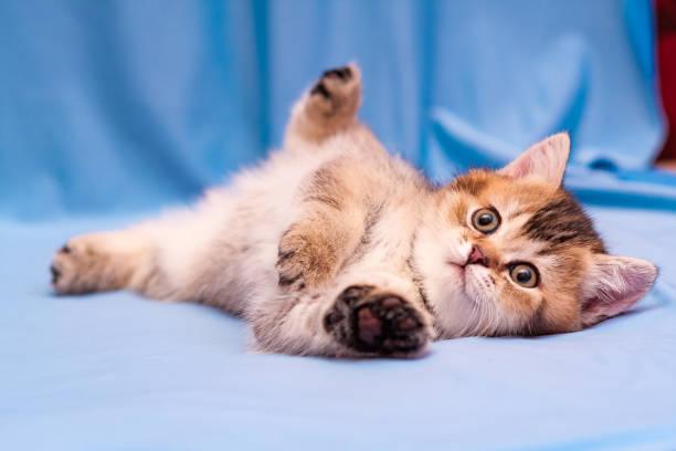 A cute brown British kitten lies upside down on a blue background stock photo