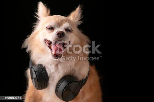 cute brown color hair chihuahua dog wear headphone music listening studio photshoot black background
