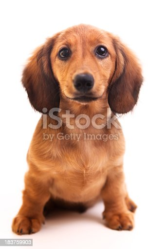 A cute brown miniature sausage dog puppy isolated on white background.