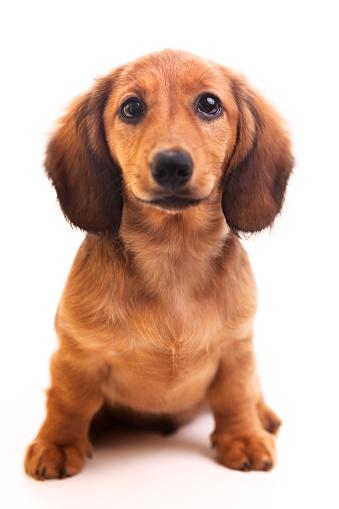 Cute brown Dachshund puppy on white background