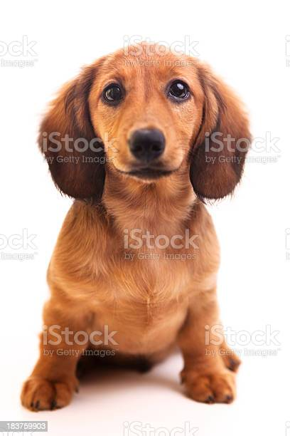 Cute brown dachshund puppy on white background picture id183759903?b=1&k=6&m=183759903&s=612x612&h=gp1ttgqqmrt5gkj ooftjrvc7zljl5jvi6rpnjb8mdq=