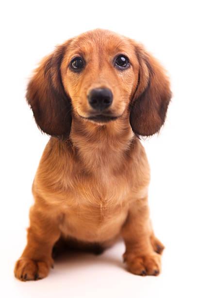 cute brown dachshund puppy on white background  - tax bildbanksfoton och bilder