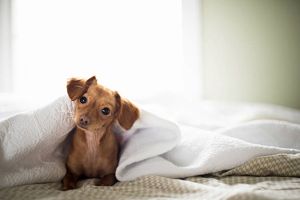 Cute Brown Dachshund Under the Covers of a White Bed stock photo