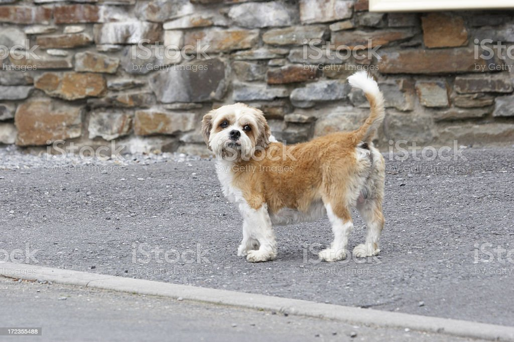 Cute brown dog royalty-free stock photo