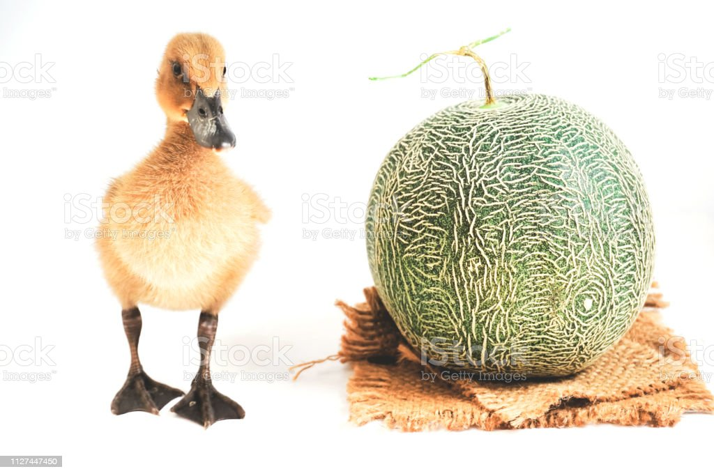 Cute Brown Ducklings Stand Together With Cantaloupe Results Stock Photo Download Image Now Istock Cantaloupe fruit is also called as mushmelon, muskmelon, cantalope, rockmelon or spanspek which all together refers a variety of cucumis melo, comes under the family cucurbitaceae which includes. https www istockphoto com photo cute brown ducklings stand together with cantaloupe results gm1127447450 297153881