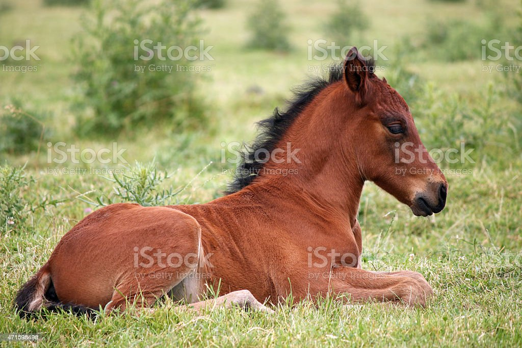 cute brown foal lying on grass stock photo
