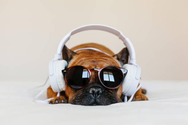 可愛的棕色法國鬥牛犬坐在家裡的床上,看著相機。有趣的狗在白色耳機上聽音樂。寵物在室內和生活方式。技術和音樂 - music 個照片及圖片檔