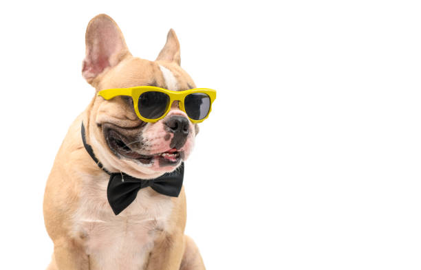 Cute  brown french bulldog wear sunglasses with black bow tie hungry isolated stock photo