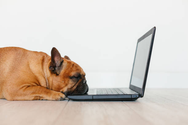 cute brown french bulldog working on laptop at home and feeling tired. Pets indoors, lifestyle and technology concept stock photo