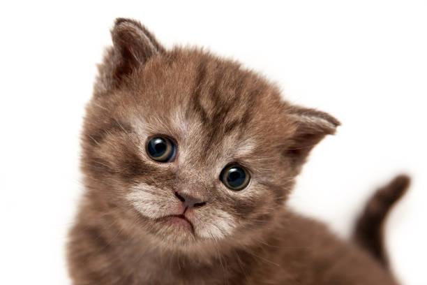 Cute brown funny face kitten closeup stock photo