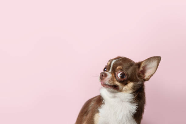 Cute brown mexican chihuahua dog isolated on light pink background. Outraged, unhappy dog looks left. Copy Space Cute brown mexican chihuahua dog isolated on light pink background. Outraged, unhappy dog looks left. Copy Space bad news stock pictures, royalty-free photos & images