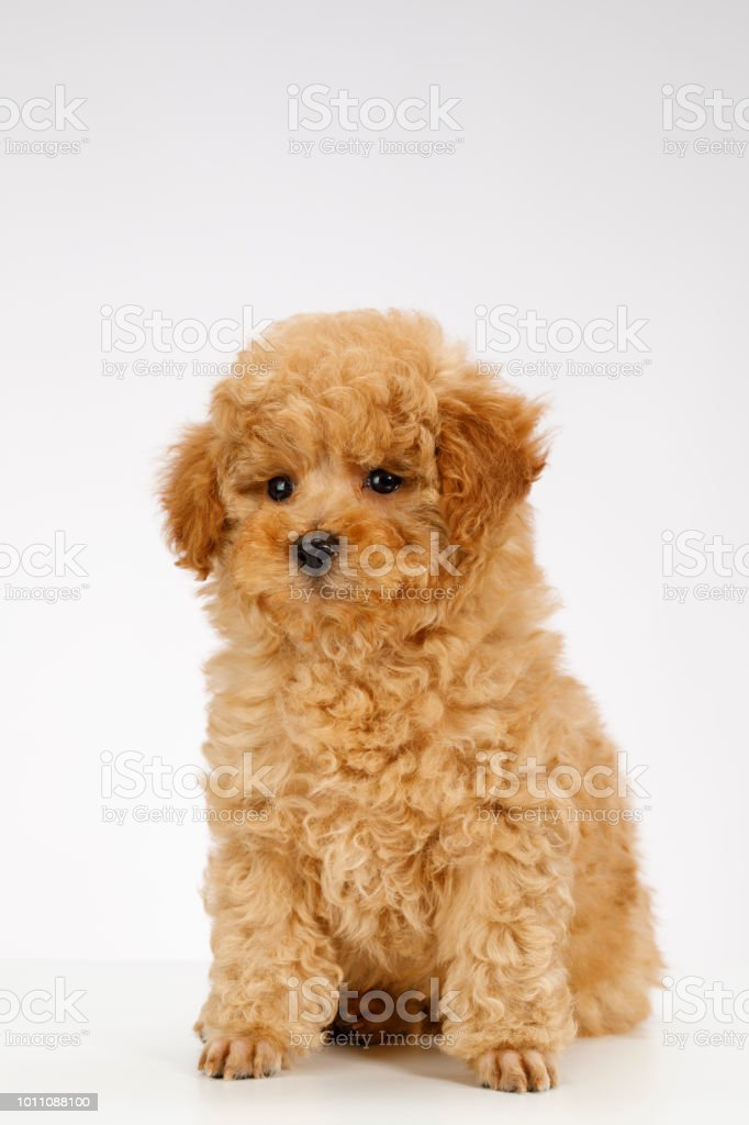 Cute Brown Miniature Poodle Puppy Stock Photo Download Image Now Istock