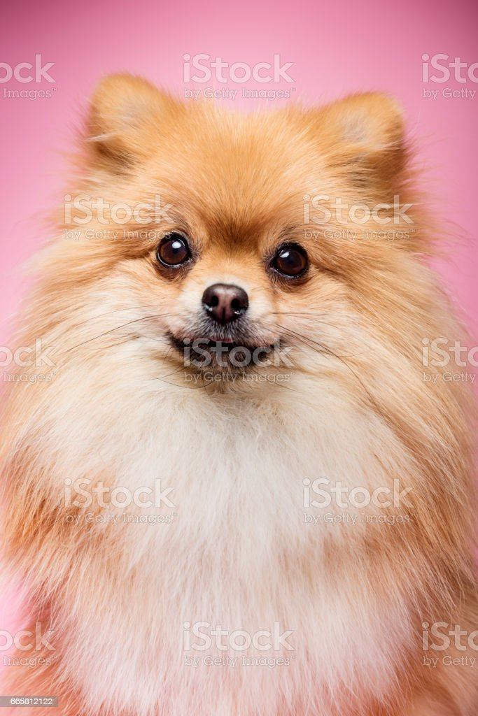 Cute Brown Pomeranian Dog On a Pink Background stock photo