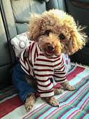 Cute brown poodle in the car