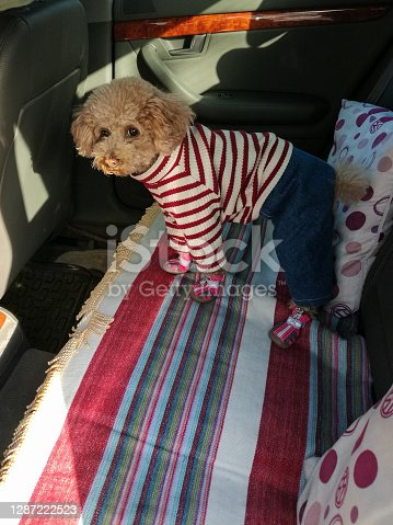 istock Cute brown poodle in the car 1287222523