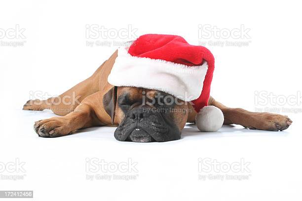Cute brown puppy sleeping while wearing a santa hat picture id172412456?b=1&k=6&m=172412456&s=612x612&h=slrpiog76oq2ff2fl9bb8u5d k2hibudyr2bdbgdckg=