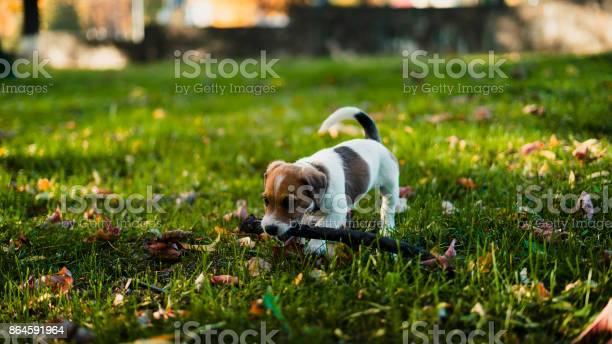 Cute brownwhite puppy holding a stick picture id864591964?b=1&k=6&m=864591964&s=612x612&h=6ckym go8rosmvh w8tssypugj5qyha02ump67w3bla=