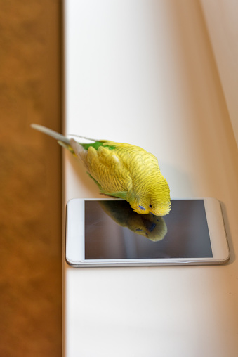 Cute Budgerigar Playing with Own Reflection in the Smart Phone