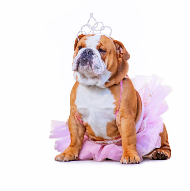 cute bulldog dressed up in a pink tutu and a princess tiara crown isolated on a clean white background cute bulldog dressed up in a pink tutu and a princess tiara crown isolated on a clean white background costume stock pictures, royalty-free photos & images