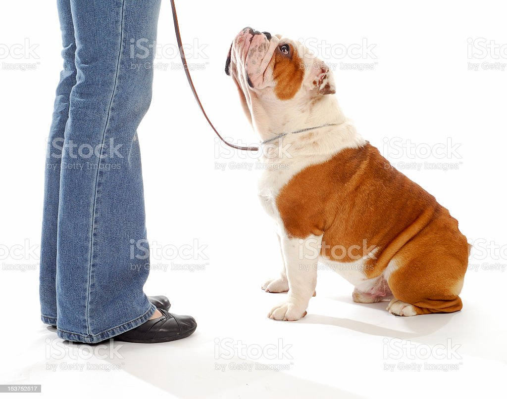 Cute bulldog on a leash looking up at its owner royalty-free stock photo