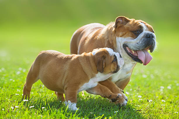 Cute bulldog puppy following its mother Cute happy english bulldog puppy following its mother bulldog stock pictures, royalty-free photos & images