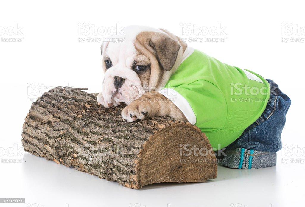 cute bulldog puppy stock photo