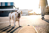 Cute Bulldog Waiting For His Owner In Behind And Looking at Camera