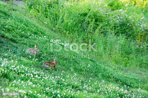 Rabbits on the green meadow. Charlotte, North Carolina, USA