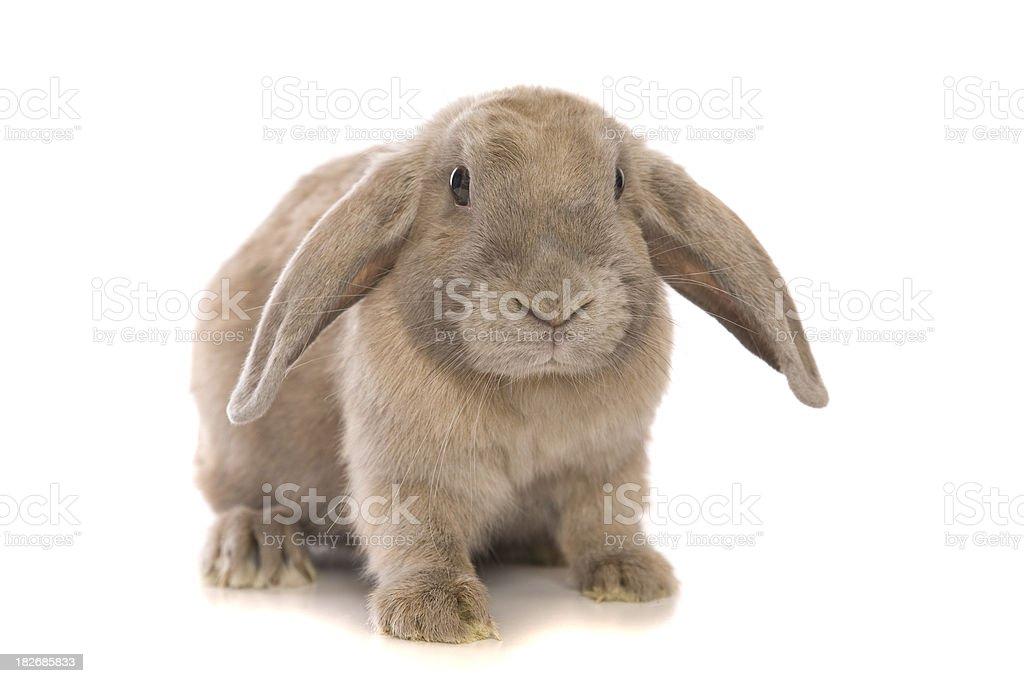 Cute Bunny Rabbit royalty-free stock photo