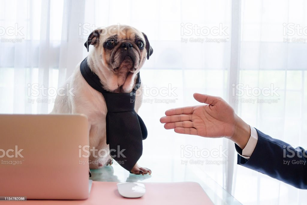 Cute business pug dog with necktie ignore to handshake with young...