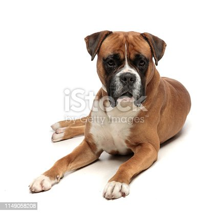 cute but exhausted little boxer lying down, looking at the camera on a white background