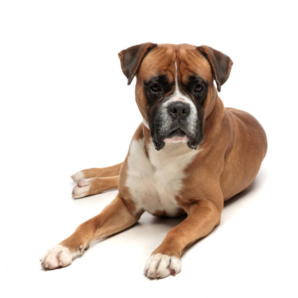 Cute but exhausted little boxer lying down picture id1149058208?b=1&k=6&m=1149058208&s=612x612&w=0&h=g2lvx 4dk d1psmgcgyxqkpyjv74quc5mvr5igh tzk=